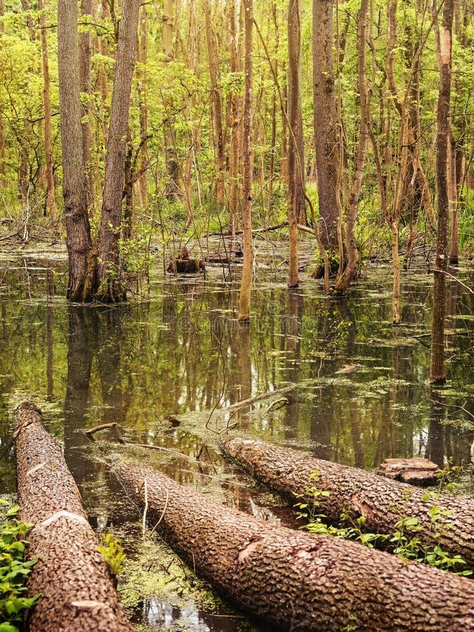 Palude della foresta immagine stock libera da diritti