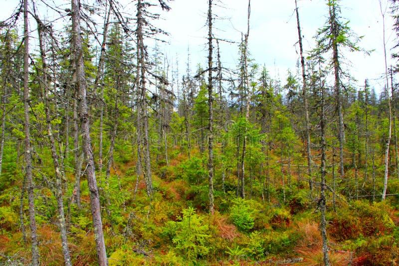 Palude nella foresta di Carpathians con gli abeti fotografie stock libere da diritti