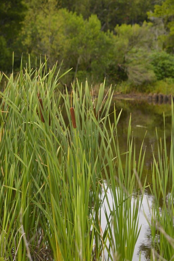 Paludi e rami paludosi di fiume della Luisiana fotografie stock