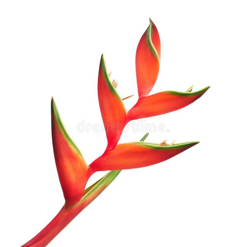 Palulu rojo de la flor del bihai de Heliconia, flores tropicales aisladas en el fondo blanco, con la trayectoria de recortes imagen de archivo libre de regalías