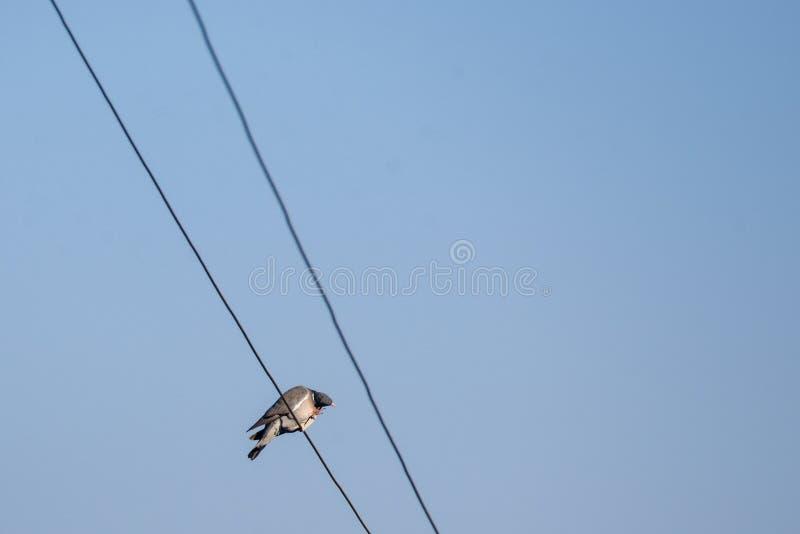 Palumbus común del Columba del pájaro de la paloma de madera fotografía de archivo