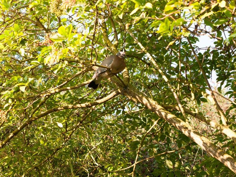 Palumbus gris viejo del Columba de la paloma de madera que descansa en un árbol arriba fotografía de archivo