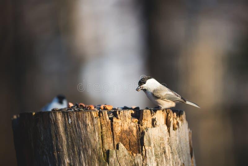 Palustris πουλιών ή Poecile Tit έλους που κάθονται στους σπόρους κολοβωμάτων και ραμφίσματος στο χειμερινό δάσος στοκ φωτογραφίες με δικαίωμα ελεύθερης χρήσης