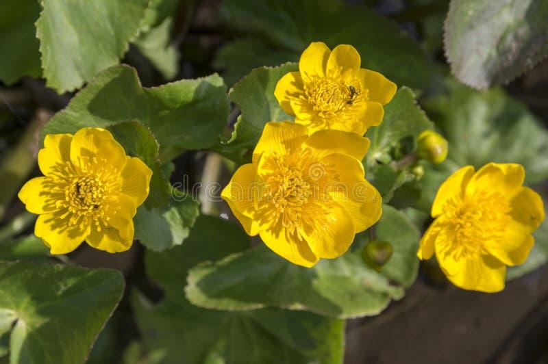 Palustris Caltha желтеют тинный завод с цветками в цветени стоковое изображение