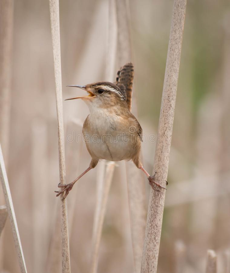 Palustris del cistothorus de Marsh Wren en dos ca?as y el canto fotos de archivo