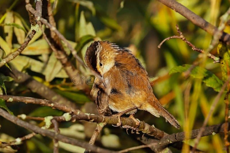 Palustris di Marsh Wren Cistothorus fotografie stock libere da diritti