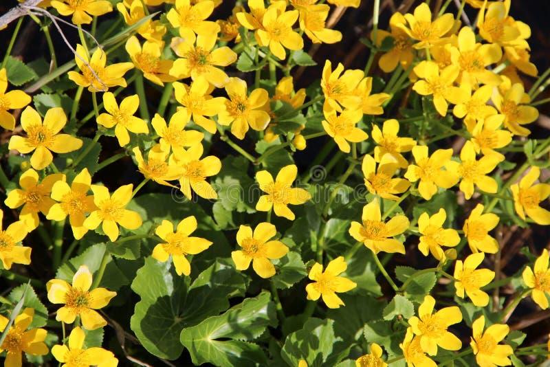 Palustris do Caltha que crescem no pântano Apenas chovido sobre Fim de Marsh Marigold acima foto de stock royalty free