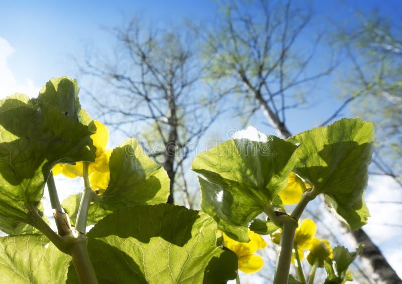 Palustris florecientes del Caltha de la maravilla de pantano en la primavera temprana en un claro contra la perspectiva del cielo fotos de archivo