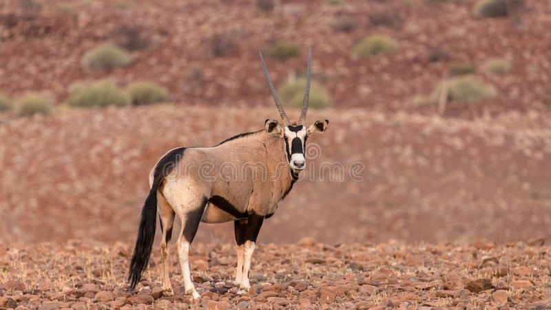 Oryx, early morning in the Palwag concession, namibia. Palwag is a huge concession populated by most of Africa`s iconic animals, such as rhinoceros lions royalty free stock image