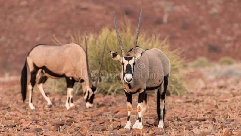 Oryx, early morning in the Palwag concession, namibia. Palwag is a huge concession populated by most of Africa`s iconic animals, such as rhinoceros lions stock photo