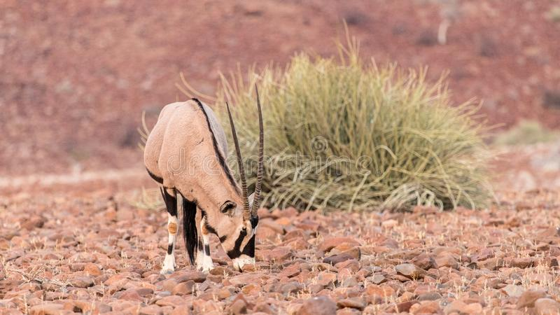 Oryx, early morning in the Palwag concession, namibia. Palwag is a huge concession populated by most of Africa`s iconic animals, such as rhinoceros lions royalty free stock photo