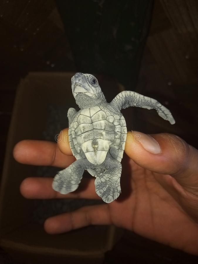 Palying with my small tiny turtle baby on turtle beach andman island. Palying with my small tiny turtle baby on turtle beach andman royalty free stock photography