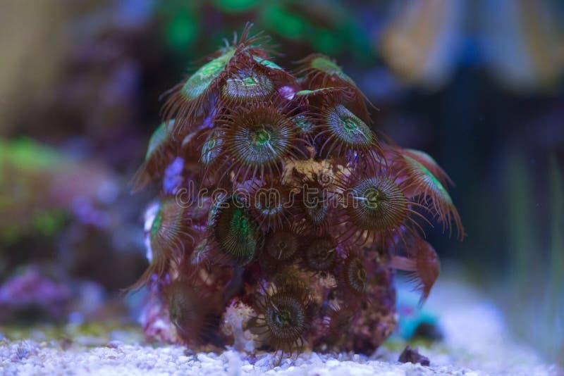 Palythoa按钮珊瑚 图库摄影