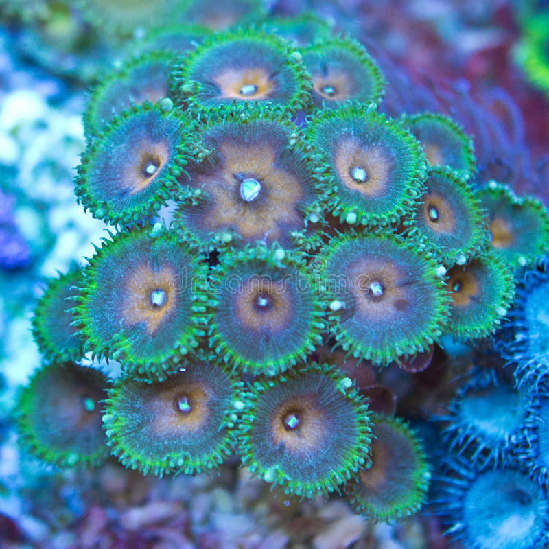 Palythoa珊瑚虫 库存图片