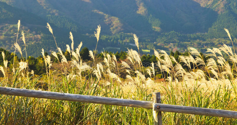 Pamapas Grass Field In Autumn At Hakone, Japan Royalty Free Stock Image