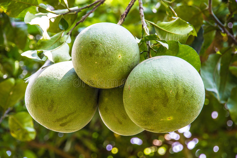 Pamelo stock image. Image of sour, asian, delicious, sweet ...