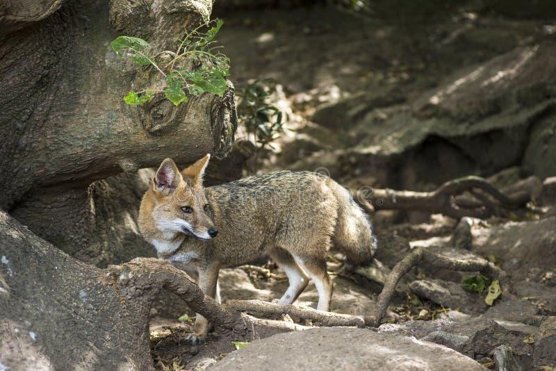 Pampa de zorro de Fox en Uruguay photo stock