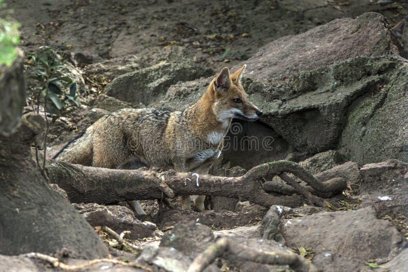 Pampa de zorro de Fox en Uruguay images stock