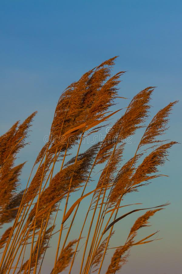 Pampas χλόη στο φως ηλιοβασιλέματος στοκ φωτογραφία