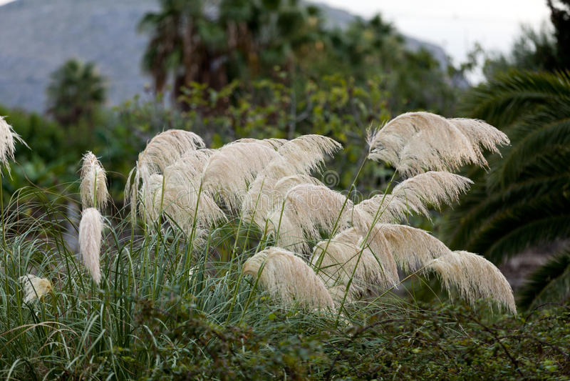 Pampas χλόη που φυσά στον αέρα στοκ εικόνες