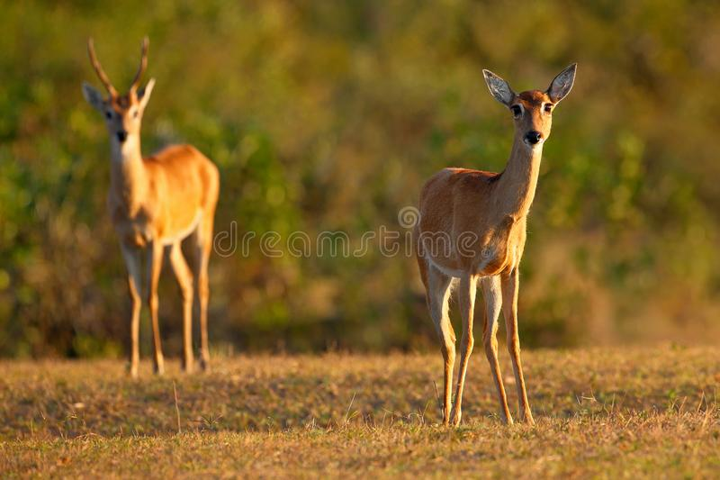 Pampas Deer, Ozotoceros bezoarticus, sitting in the green grass, Pantanal, Brazil. Wildlife scene from nature. Pair if deer, natur. E stock images