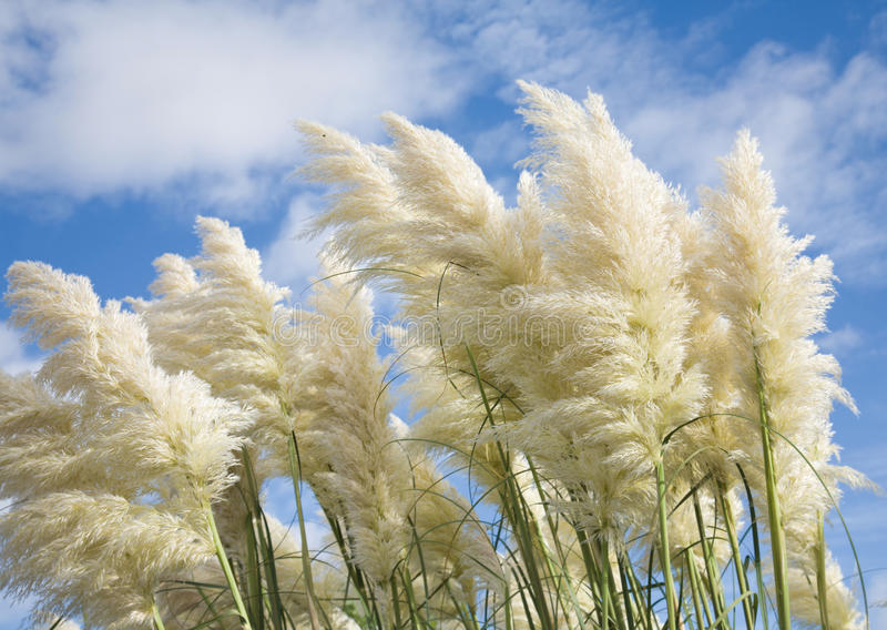 Download Pampas grass stock photo. Image of sunshine, white, tall - 11194816