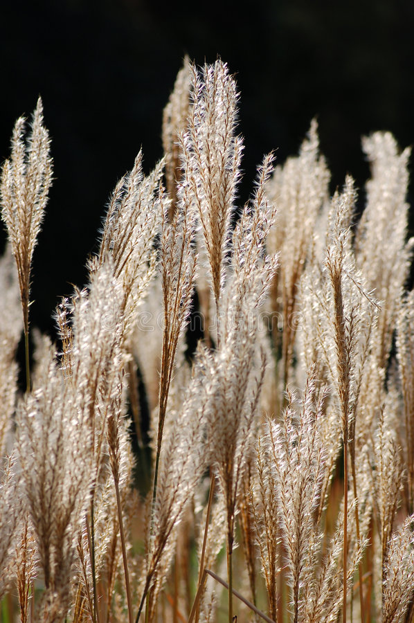 Pampas grass. On black background royalty free stock photos