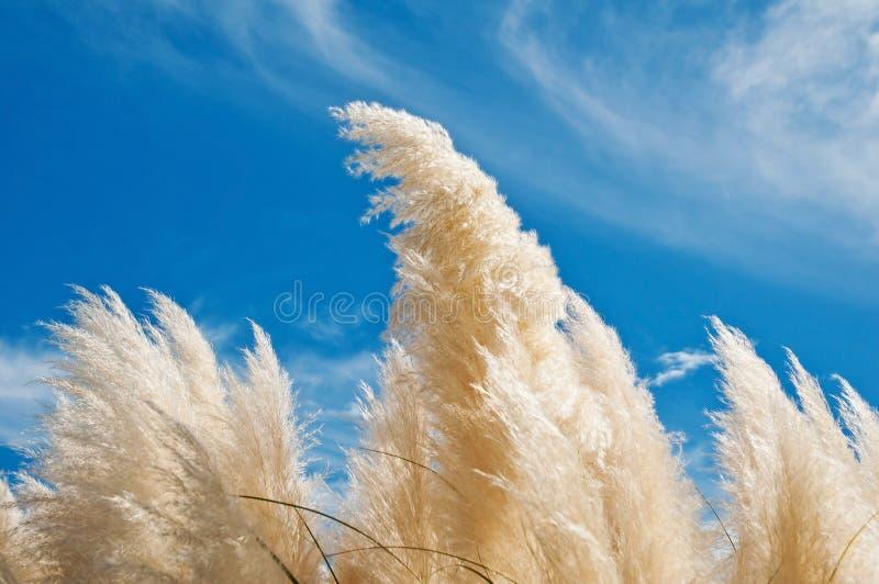 Download Pampas Grass stock photo. Image of natural, pampas, botanical - 18856836