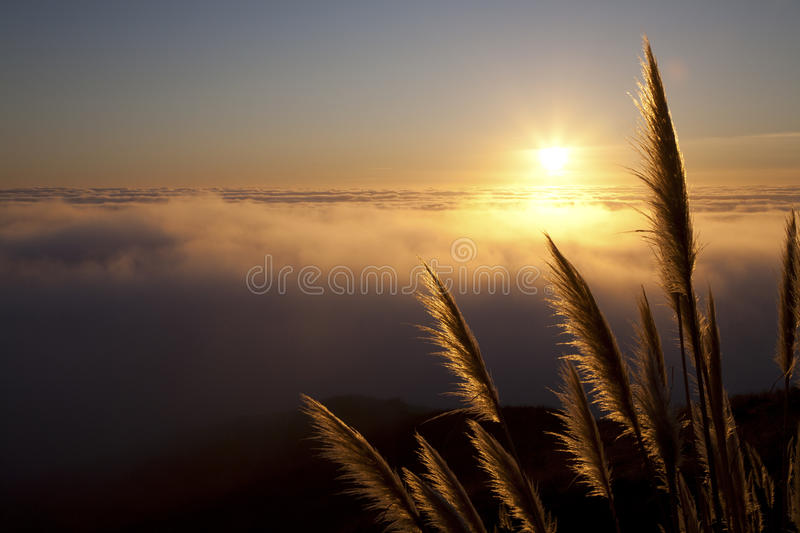 Pampas Grass 2 Royalty Free Stock Images