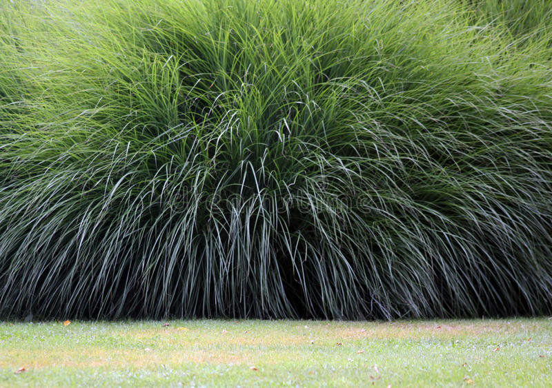 Download Pampas grass stock photo. Image of pampas, green, evergreen - 21338452