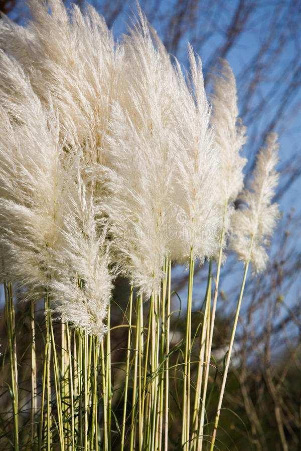 Download Pampas Grass stock photo. Image of color, stem, grass - 22171798