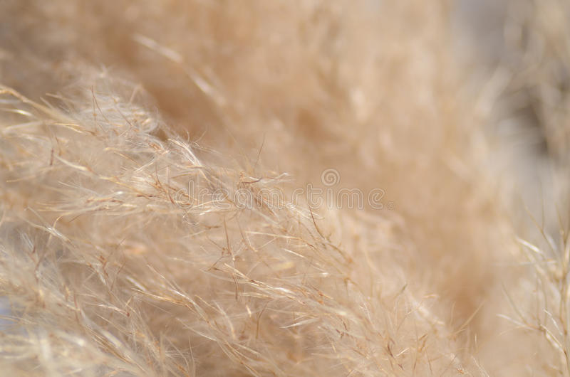 Download Pampas Grass stock image. Image of beige, soft, japanese - 22455987