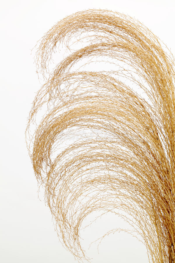 Download Pampas grass stock photo. Image of bright, fall, ornamental - 25473196
