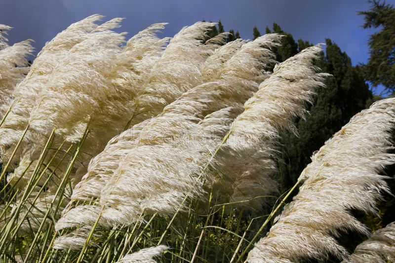 Download Pampas grass stock image. Image of cortaderia, clouds - 27338305