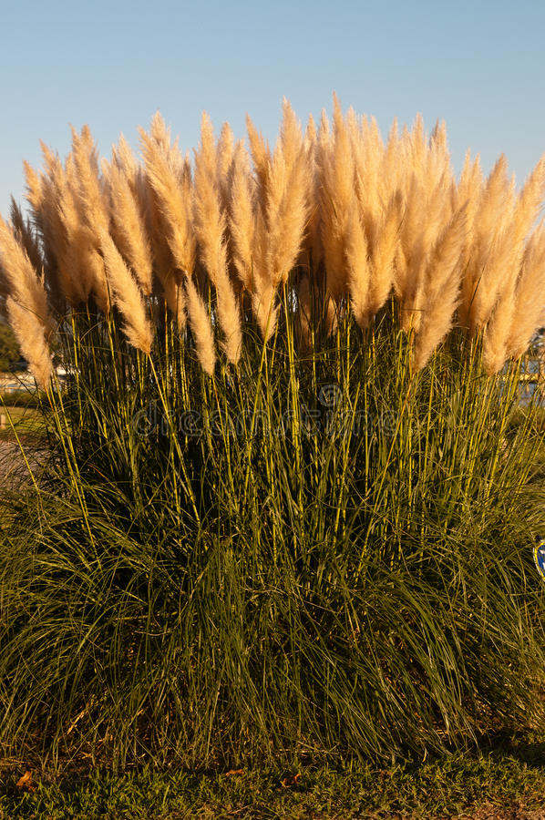 Download Pampas Grass Royalty Free Stock Images - Image: 27343539