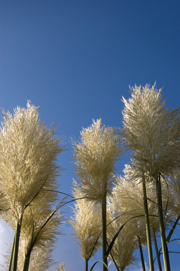 Download Pampas Grass stock image. Image of botany, panical, grasses - 3367763