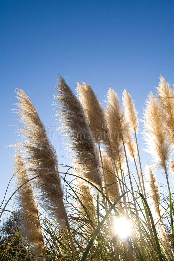 Free Pampas Grass Stock Photos - 3898733