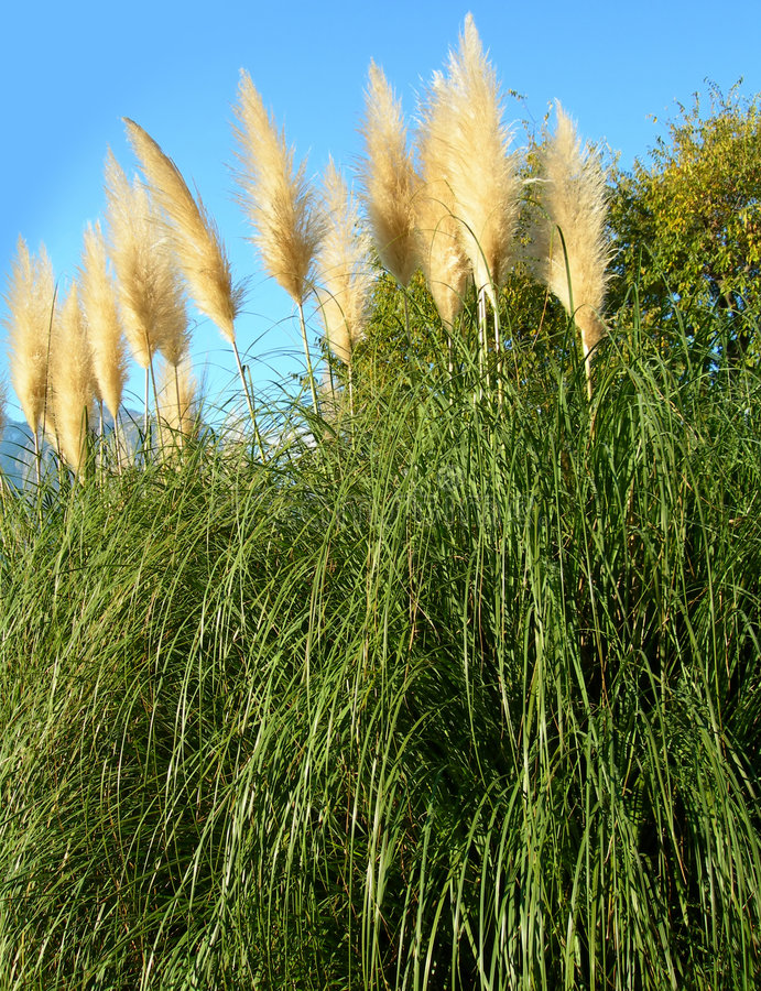 Pampas grass against blue sky stock photos