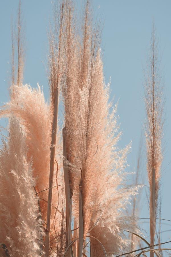 Free Pampas Grass Against Blue Sky, Minimal Trendy Art Nature Poster Stock Photos - 199648213