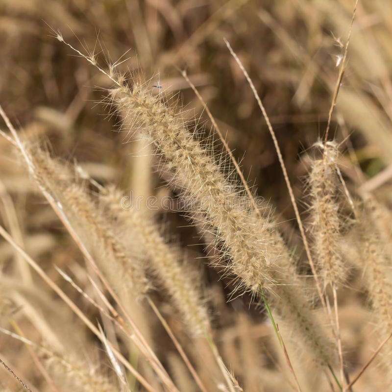 Pampas grass. Background of pampas a grass royalty free stock photo