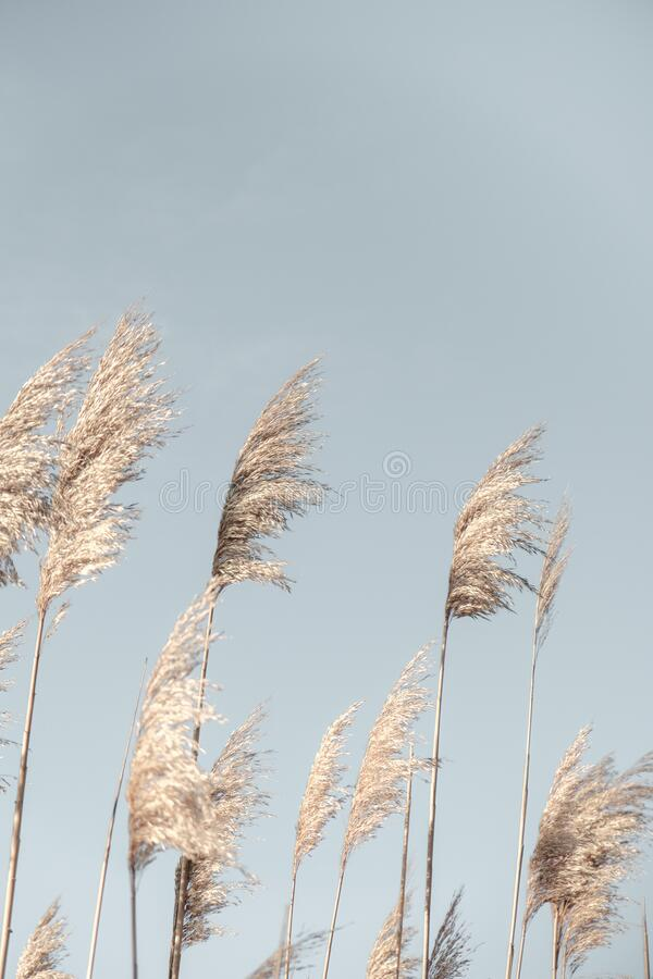 Free Pampas Grass Blue Sky. Creative, Minimal, Bright And Airy Styled Concept Stock Photos - 182640713