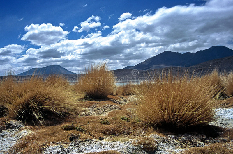 Download Pampas Grass  In Bolivia,Bolivia Stock Photo - Image: 8581430