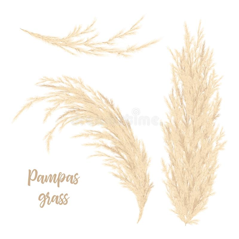 Pampas grass golden. Vector illustration. panicle Cortaderia selloana South America. Floral ornamental grass. feathery flower head plumes, used in flower stock photography