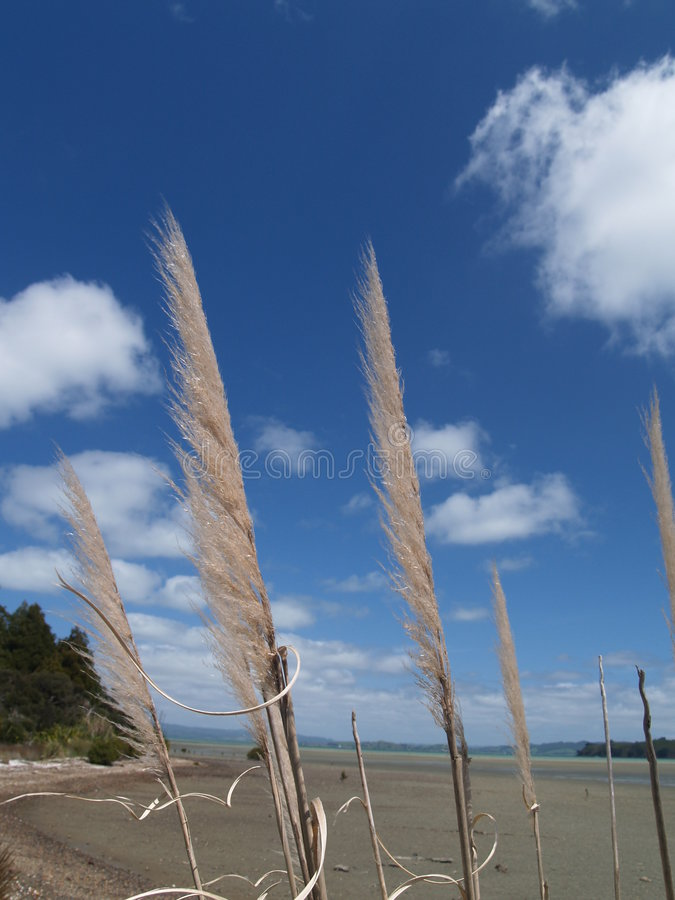 Free Pampas Grass (toi Toi) Against Blue Sky. Stock Image - 6918731