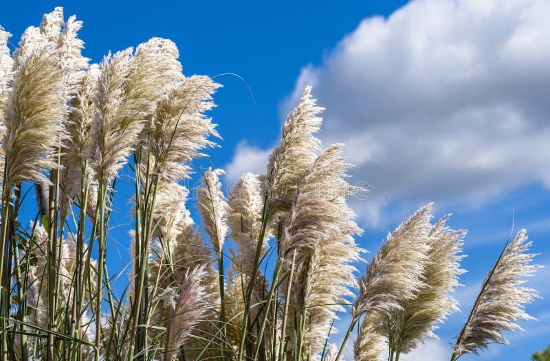 Pampas Grass. White pampas grass Cortaderia selloana, inflorescences against a cloudy blue sky in summer stock photos