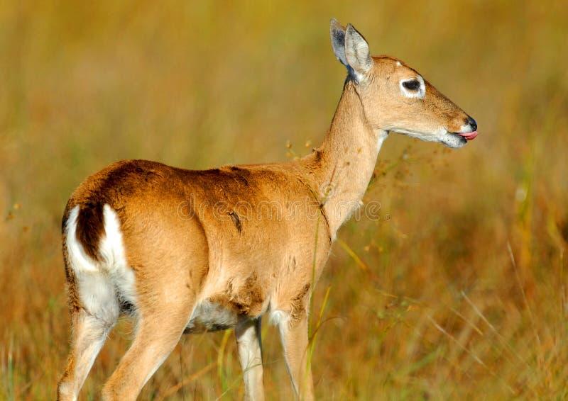 Pampas-Rotwild, die Gras essen stockbilder