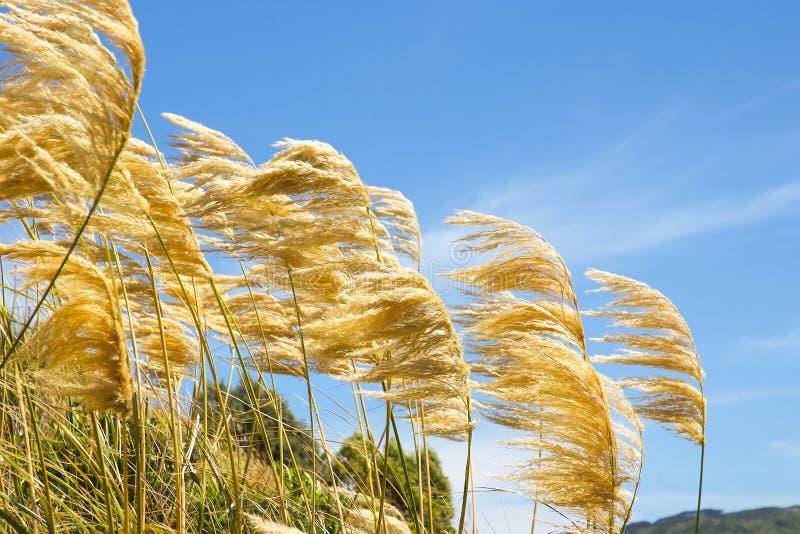 Pampasgräs som blåser i vinden mot en blå himmel arkivbilder