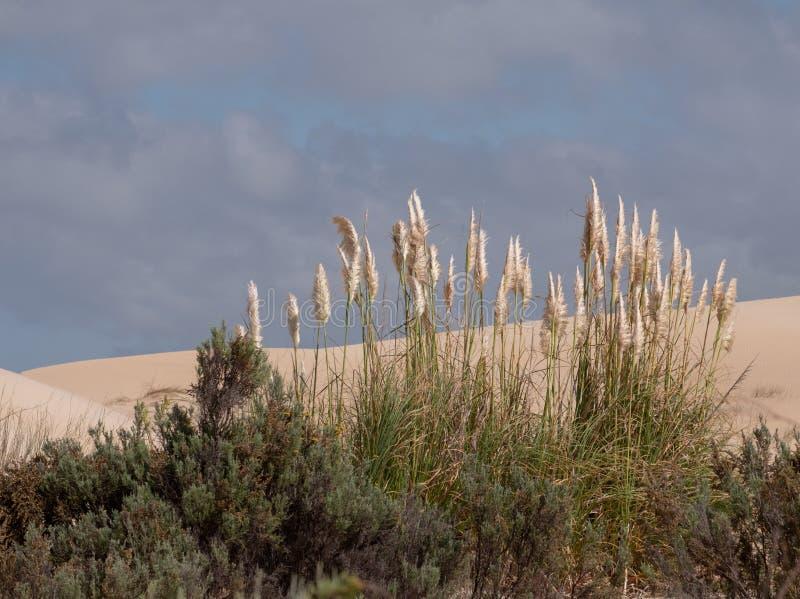 Pampasgras, das im Sand an den Alexandria-K?stend?nenfeldern nahe Addo/Colchester, S?dafrika w?chst stockfotografie