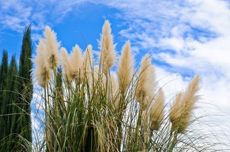 Pampass反对蓝天的草和杉树 免版税库存照片