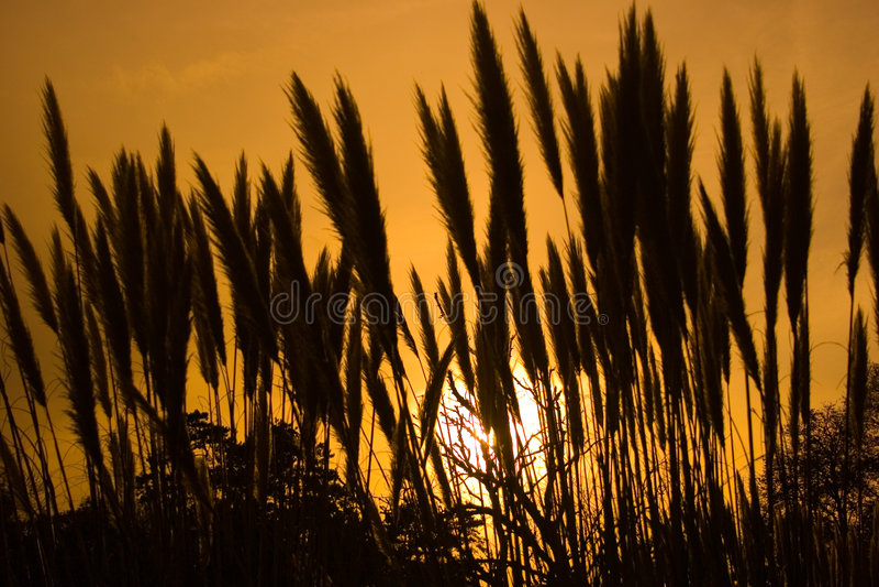 Pampass Gras lizenzfreie stockbilder
